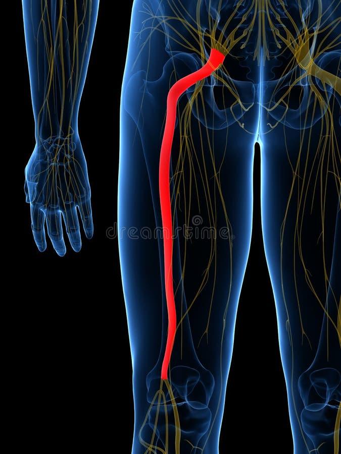 El nervio ciático stock de ilustración