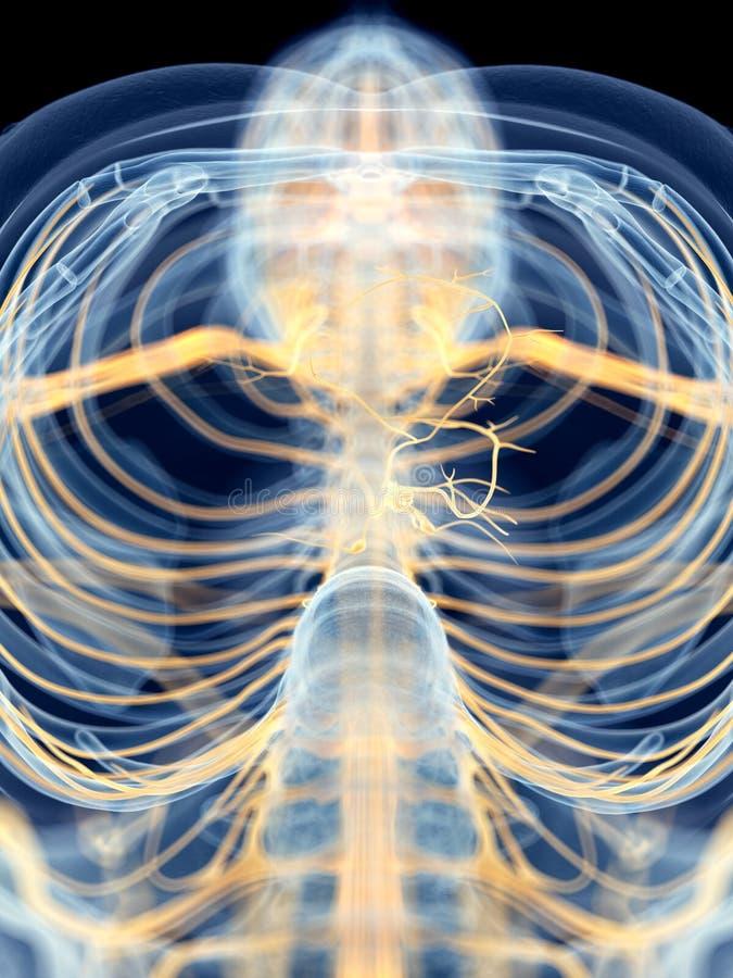 El nervio de nervio vago libre illustration