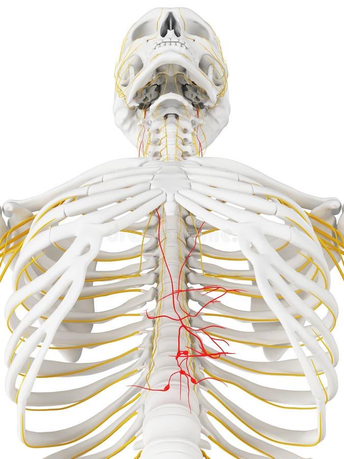 El nervio de nervio vago ilustración del vector
