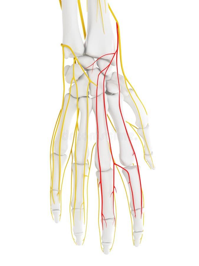 El nervio dorsal de la parte radial de las ramas de Digitaces ilustración del vector