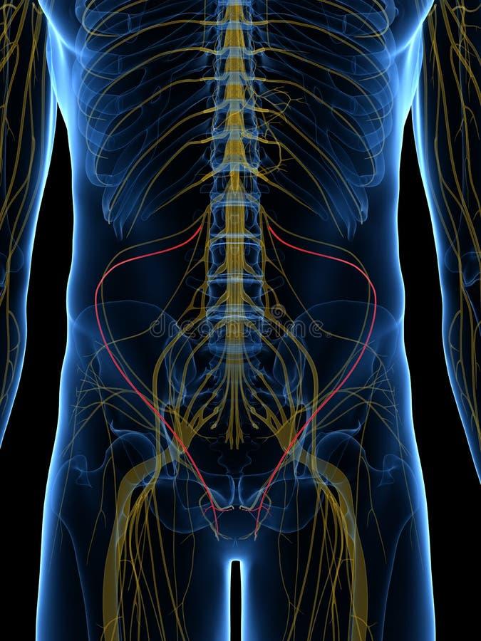 El nervio ilioinguinal ilustración del vector