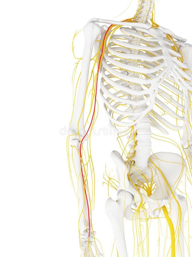 El nervio mediano stock de ilustración