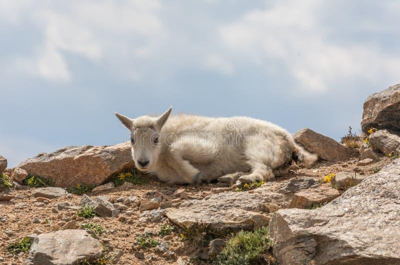 El niño de la cabra de montaña acostó fotos de archivo
