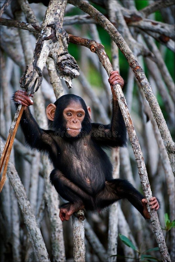 El ni?o de un chimpanc foto de archivo
