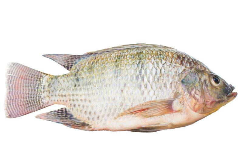 El niloticus de Oreochromis aislado o fondo blanco aislado pescados del mossambicus imagen de archivo libre de regalías