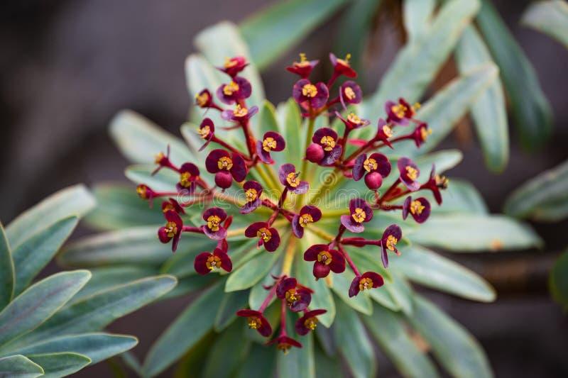 El nombre científico de esta planta es atropurpurea del euforbio imagen de archivo