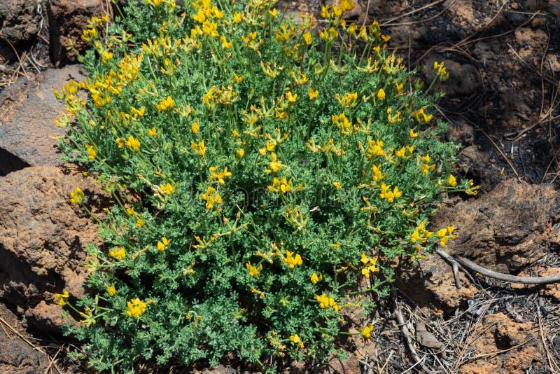 El nombre científico de esta planta es campylocladus de Lotus imagen de archivo
