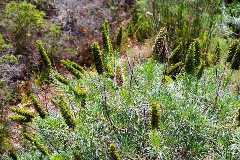 El nombre científico de esta planta es webbii del Echium fotografía de archivo libre de regalías