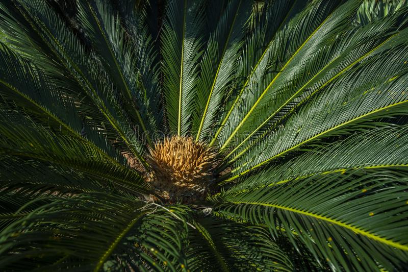 El nombre científico del Cycad es los circinalis L del Cycas Cycadaceae de las familias Cierre del Cycas para arriba con lyzard e foto de archivo