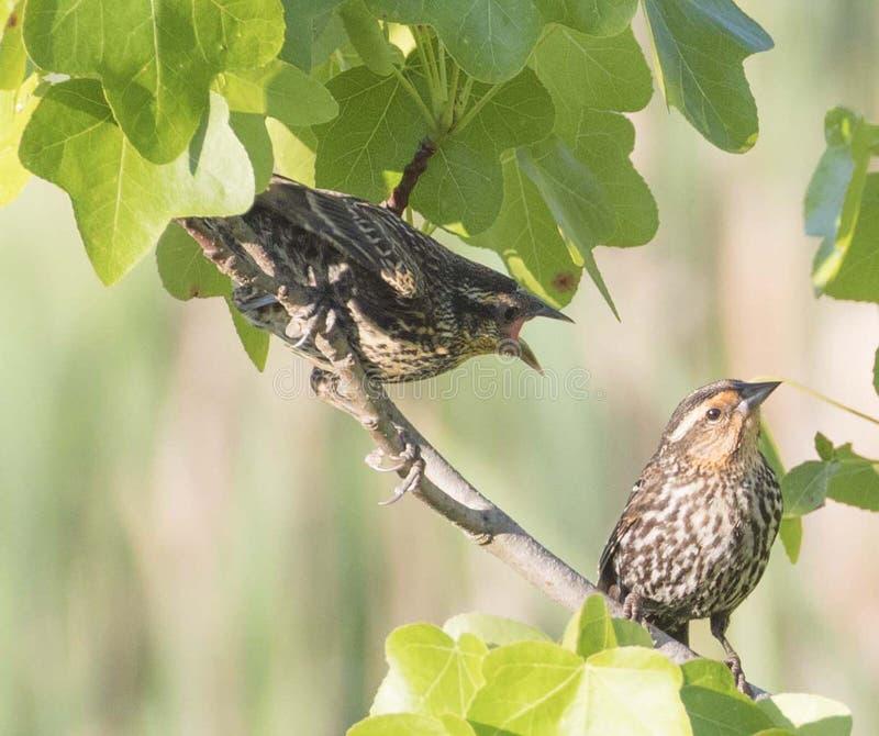 El novato del mirlo de alas rojas pide a la madre la comida foto de archivo libre de regalías