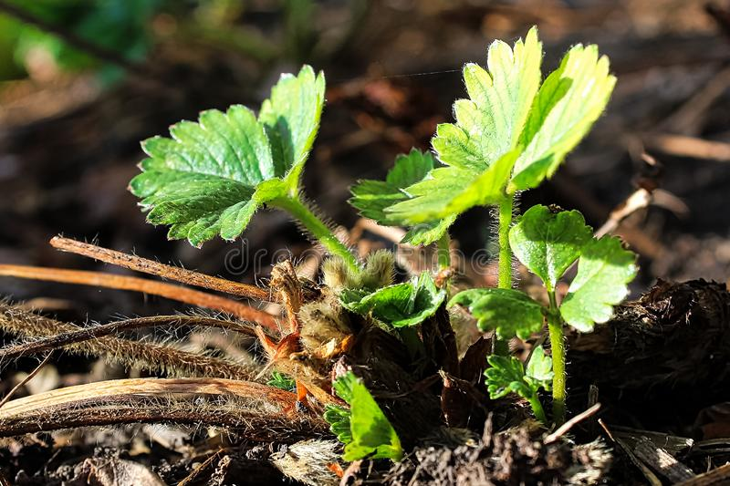 El nuevo crecimiento de las hojas verdes de la fresa en la primavera fotos de archivo libres de regalías