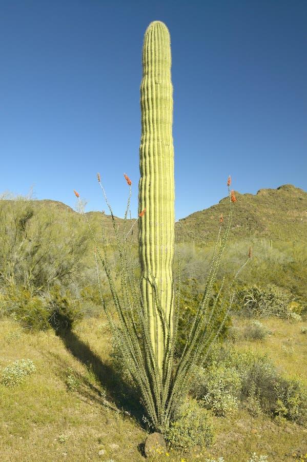 El Ocotillo que rodea un cactus del tubo de órgano en el monumento nacional del cactus del tubo de órgano, AZ acerca a la fronter imagen de archivo libre de regalías