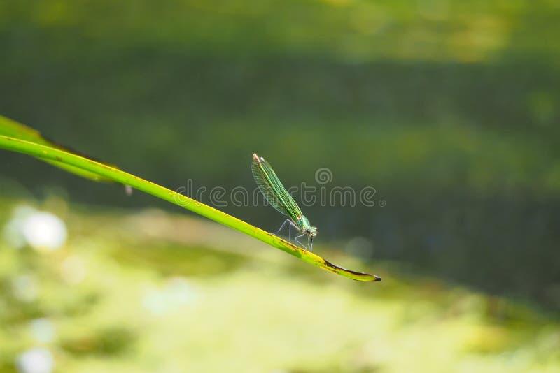 El odonata de la libélula, se pone verde con la reclinación recogida las alas sobre una hoja en el río Ulla, coruña del la fotos de archivo libres de regalías