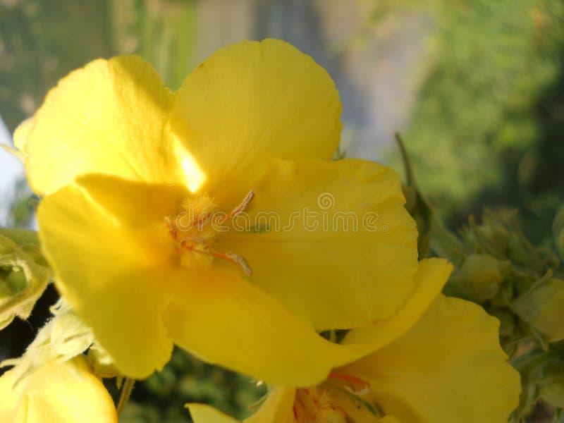 el Oenothera solar Bennis de la flor imágenes de archivo libres de regalías