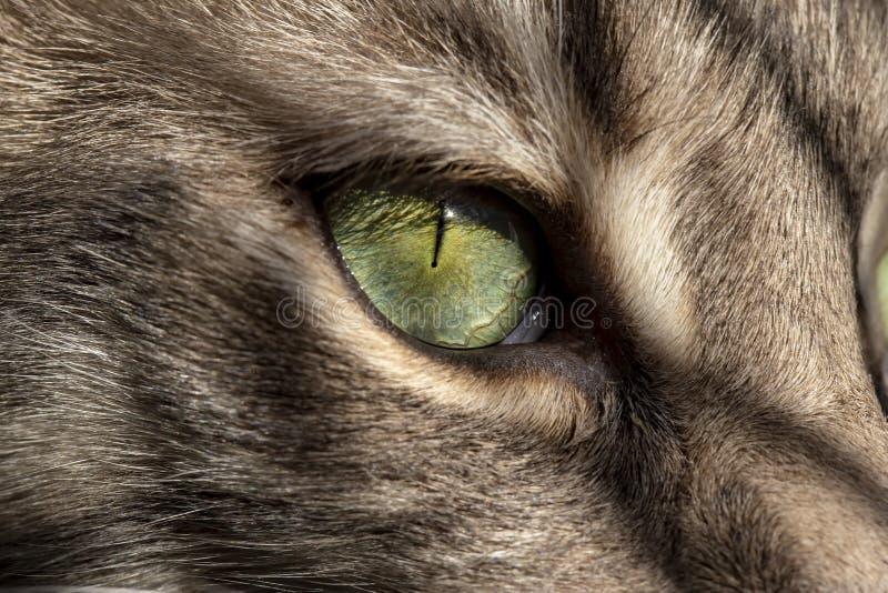 El ojo de gato hermoso, verde es iluminado por la luz del sol Macro imagenes de archivo
