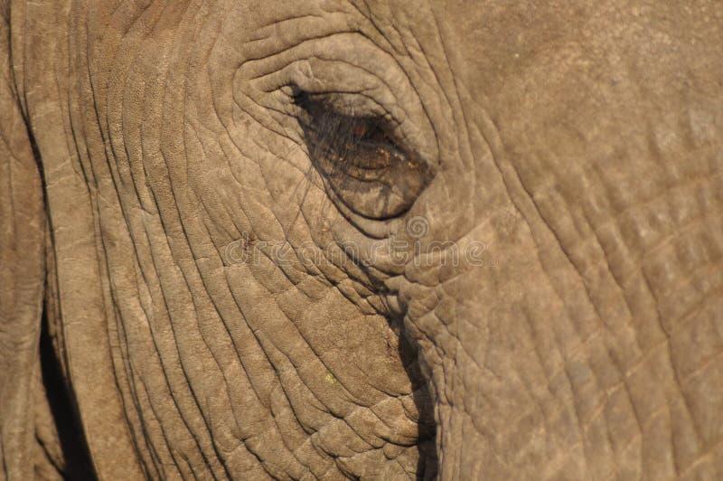 El ojo de los elefantes foto de archivo libre de regalías