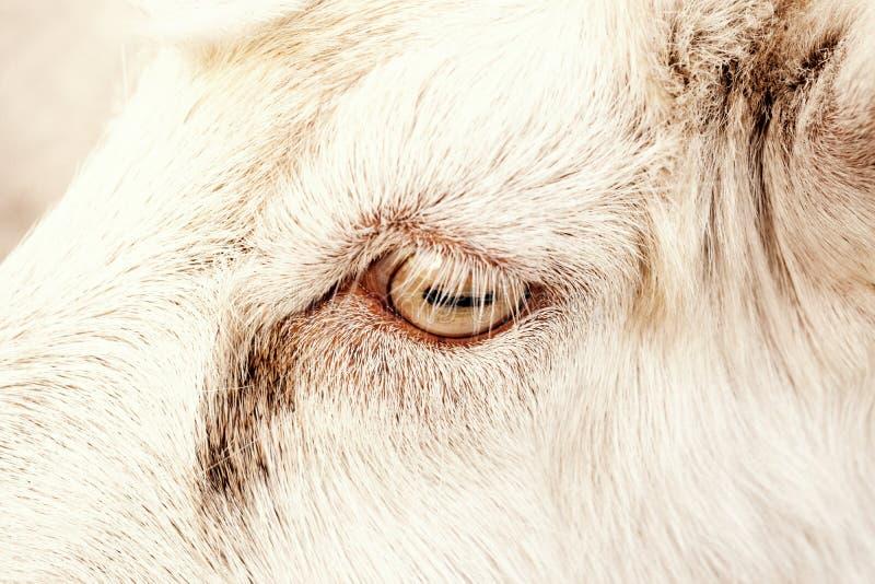 El ojo de una cabra blanca fotos de archivo