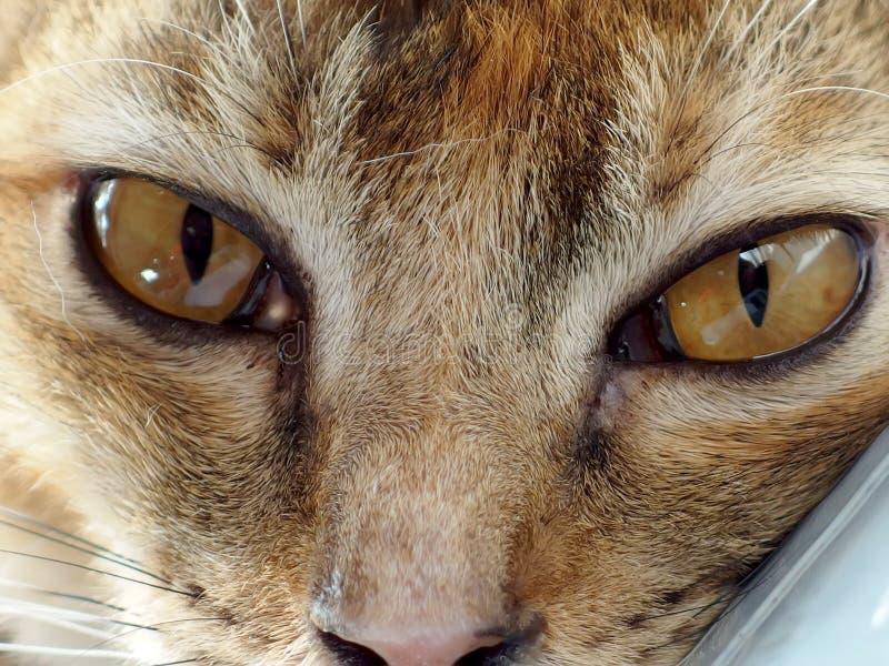 El ojo del gato perdido se cerró encima del retrato fotografía de archivo