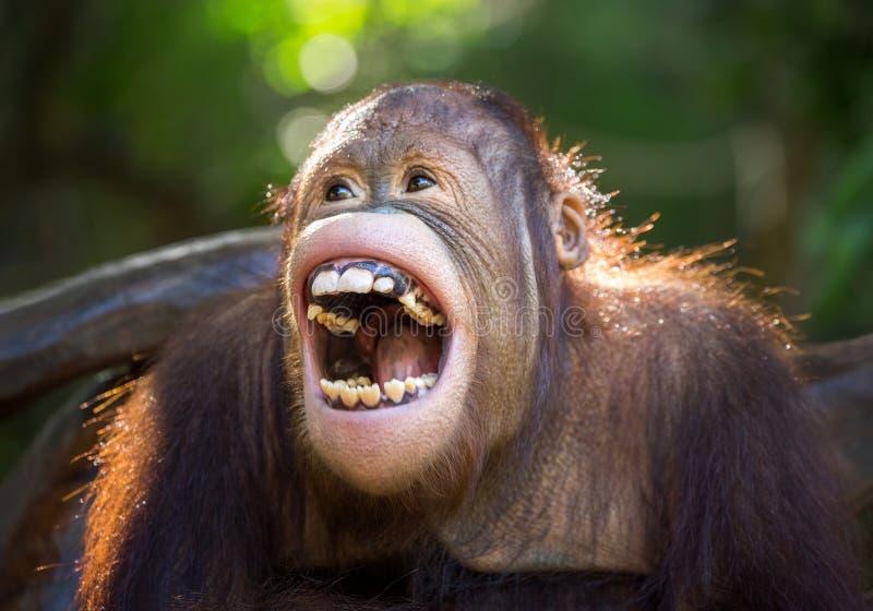 El orangután imagen de archivo