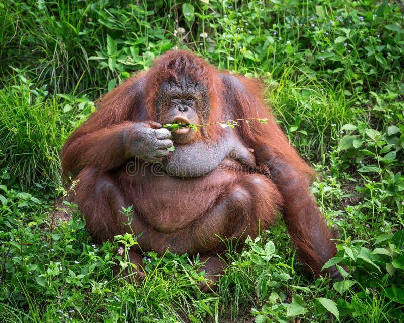 El orangután está viviendo en el salvaje foto de archivo