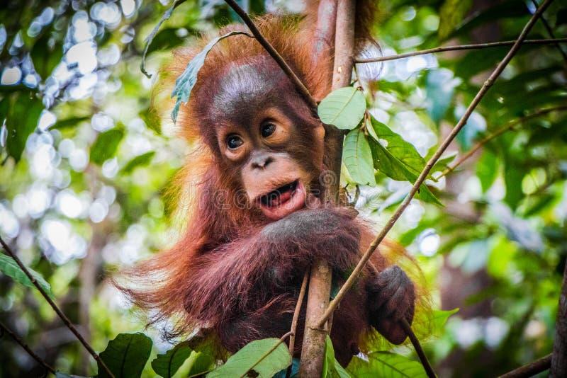 El orangután más lindo del bebé del mundo cuelga con la boca abierta imagen de archivo libre de regalías
