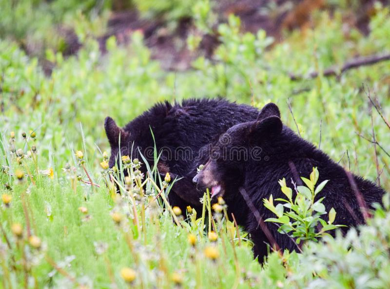 El oso Cubs negro desayuna banquete del diente de león imágenes de archivo libres de regalías