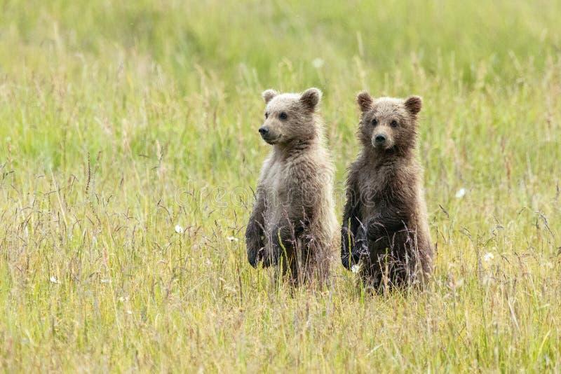 El oso de Alaska Cubs de Brown se coloca en un campo fotos de archivo