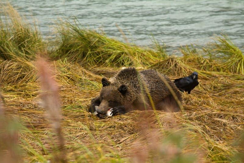 El oso de Brown de Alaska joven que persigue con los salmones, como cuervo esperanzado mira alrededor de la parte posterior Río d foto de archivo