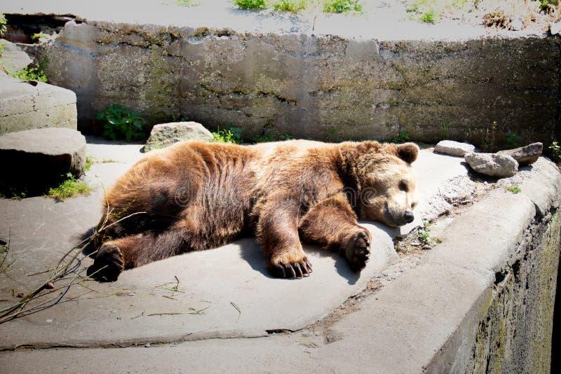 El oso de Brown está buscando un lugar conveniente donde no hay luz del sol caliente imagen de archivo