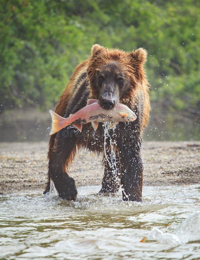 El oso de Brown muestra una captura agradable con el almuerzo de color salmón en su boca en el lago Kuril fotos de archivo