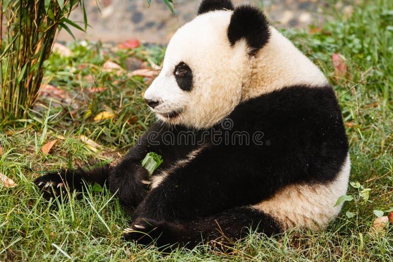 El oso de panda gigante se sienta comiendo verdes imagenes de archivo