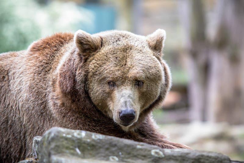 El oso grizzly en un parque zoológico de Berlín, Alemania imagenes de archivo