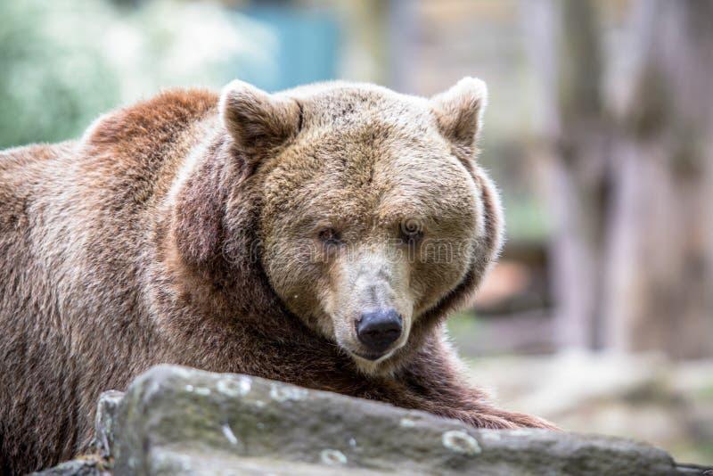 El oso grizzly en un parque zoológico de Berlín, Alemania fotos de archivo