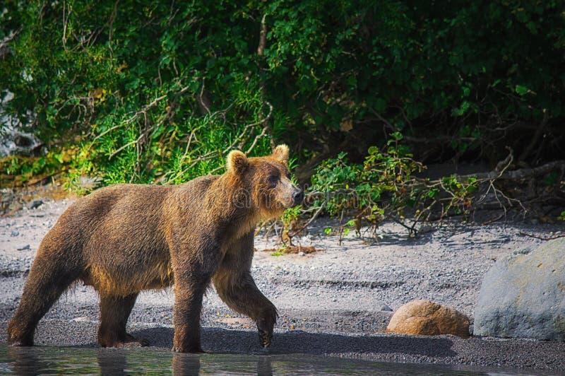 El oso marrón de Kamchatka coge pescados en el lago Kuril Península de Kamchatka, Rusia imagenes de archivo