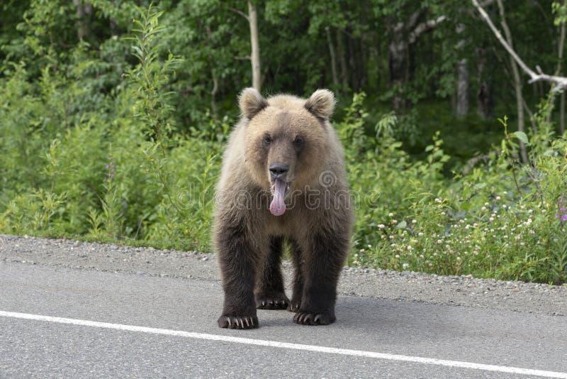 El oso marrón de Kamchatka se coloca en la carretera de asfalto fotografía de archivo