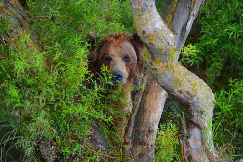 El oso marrón está ocultando en los arbustos foto de archivo libre de regalías