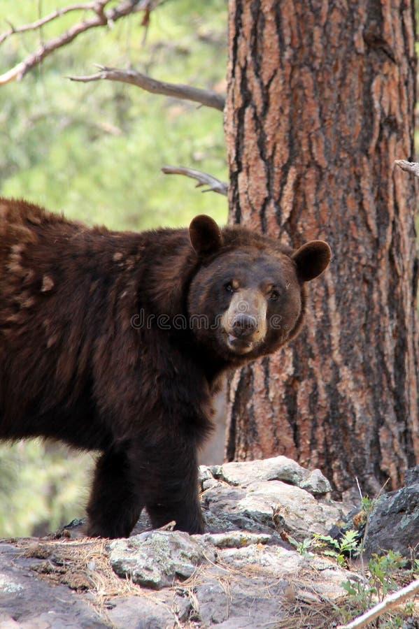 El oso mira al fotógrafo foto de archivo libre de regalías