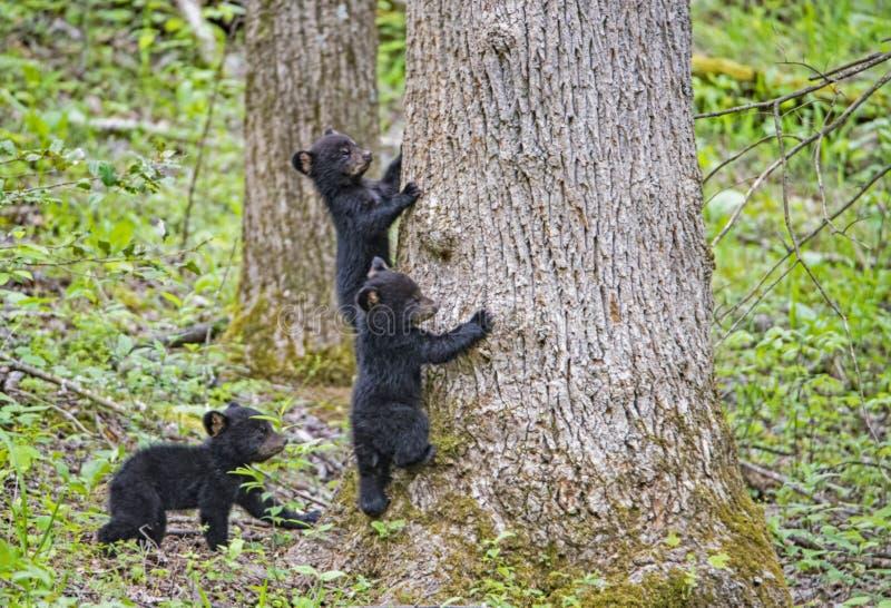 El oso negro Cubs de tres bebés dirigió encima de un árbol imagen de archivo