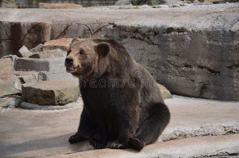 El oso pide la invitación en el parque zoológico de Kaliningrado Rusia imagen de archivo libre de regalías