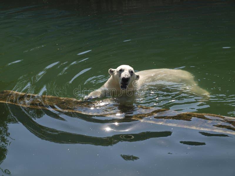 El oso polar nada en el río foto de archivo