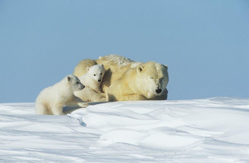 El oso polar pare con la madre en la nieve el Yukón imagenes de archivo