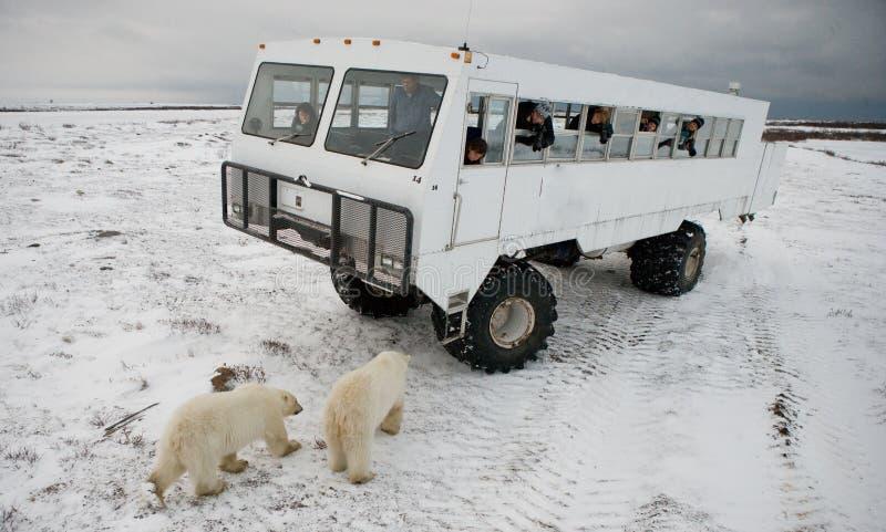 El oso polar vino muy cerca a un coche especial para el safari ártico canadá Parque nacional de Churchill fotografía de archivo libre de regalías