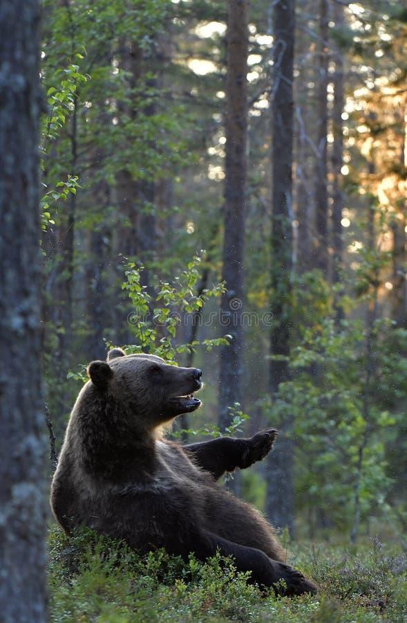 El oso se sienta contra un árbol. Oso marrón en el bosque de pinos de verano a la luz del sol Nombre científico: Ursus arctos fotos de archivo libres de regalías