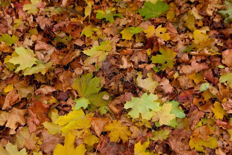 el otoño amarillo y el rojo se va contra el cielo azul fotos de archivo libres de regalías