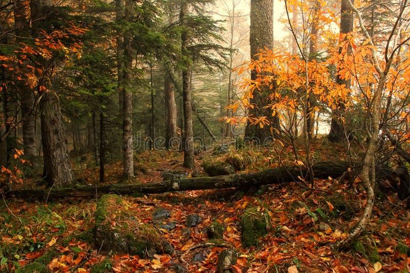 El otoño hermoso mezcló el bosque con las hojas amarillas en la niebla de tierra y suave en fondo fotos de archivo libres de regalías