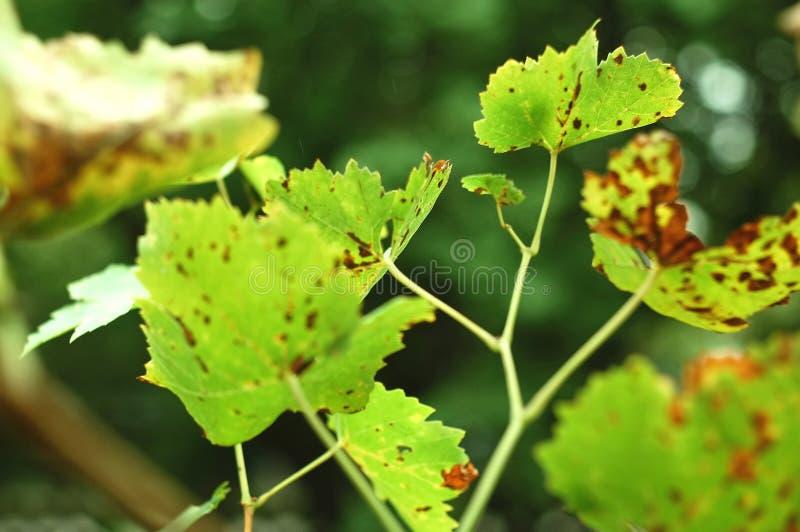 El otoño manchó las hojas de la uva en el fondo verde Concepto de cosecha del otoño o enfermedades de uvas imagen de archivo