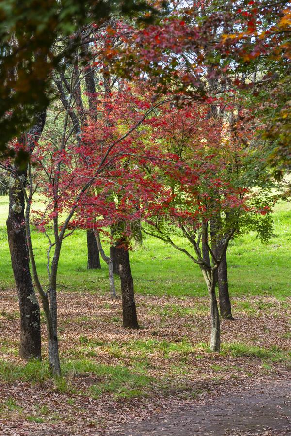 El otoño rojo coloreó las hojas imagenes de archivo