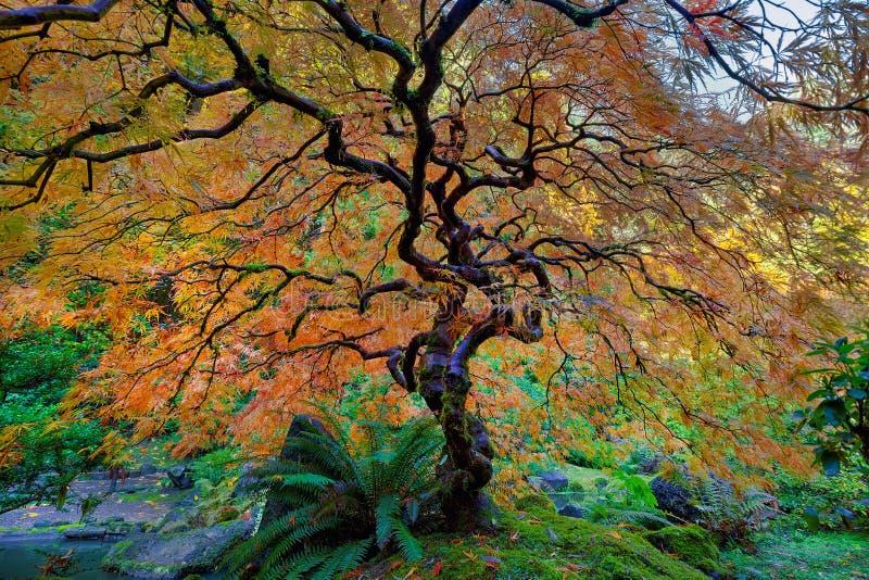 El otro árbol de arce japonés en otoño imagen de archivo libre de regalías