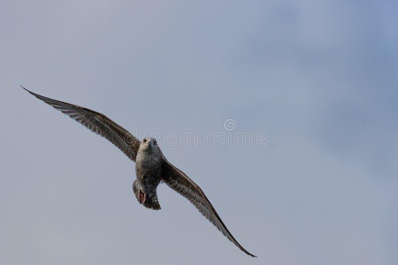 El págalo del Stercorarius del gran págalo, isla de Skye Scotland, unió Ki foto de archivo