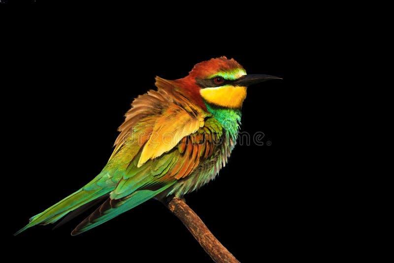 El pájaro coloreado exótico se aísla en un fondo negro foto de archivo libre de regalías